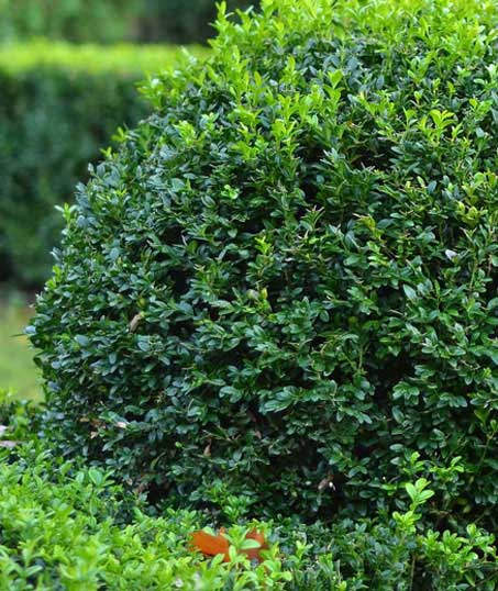 Losey's Lawn & Landscape, Inc. Shrubs & Hedges